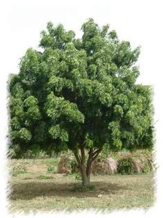 Zederach indický – Neem - léčivý strom Ájurvédy-na co vše funguje, jinde - i do doma vyráběných zubních past