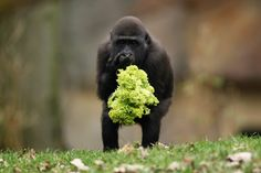 one year-old gorilla named Uzuri eats a salad at a zoo in Germany.