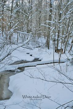 White-tailed deer are native to the Finger Lakes. They stay active all winter long so long as the snow isn't too deep.