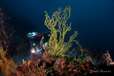 https://flic.kr/p/zxr5Mm | Savalia savaglia - gold coral | Underwater Photography by Yiannis Iliopoulos