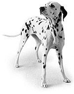 Dalmatian Dog Food Diet (prevent bladder stones)- Low purine diet. this means you can't just give normal dog treats either. There is a list of human foods they can have that you can give. And I would want to get the prescription dog food right away