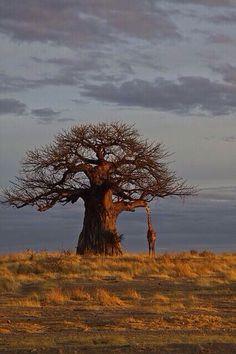 Giraffe and baobab