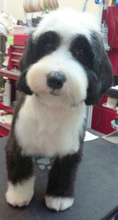 """Perfect """"puppy"""" cut by Maxine at Bunker Hill Grooming Houston:""""The adorably sweet Tibetan Terrier """"Darcy"""", from Trisong Tibetan Terriers in for a grooming today. She was such a perfectly behaved puppy for her first trim."""""""