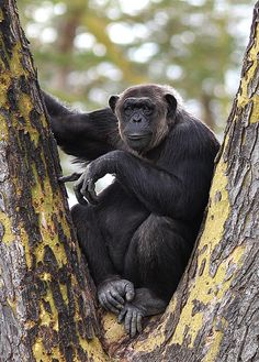 Chimpanzee by AnyMotion, via Flickr