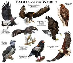 Eagles Of The World Duvet Cover by Wildlife Art By Roger Hall - Queen: x The Eagles, Types Of Eagles, Animals Of The World, Animals And Pets, Cute Animals, Unique Animals, Harpy Eagle, Bald Eagle, Haliaeetus Leucocephalus