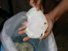 Coral Aquarium, Discus Fish, Planted Aquarium, Albino, Pets, Animals And Pets