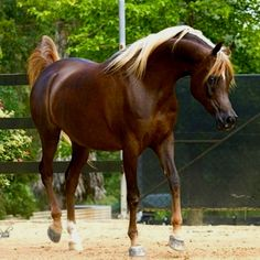 Chestnut Arabian Horses   Dark Chestnut Arabian Horse I think dark chestnut with