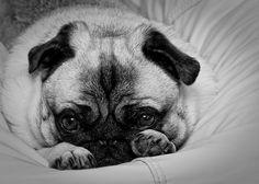 shy pug.