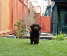 did I mention I love to run around!? #labradoodle #labrador #poodle