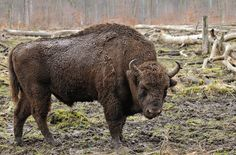 First herd of European Bison (Wisent) released to freely roam German forests in 300 years. European Bison, Bagan, Linnaeus, American Bison, Water Buffalo, Parcs, Belize, New York Times, New Zealand