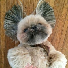 """9,361 Likes, 502 Comments - Dougie the Shih Tzu (@dailydougie) on Instagram: """"Fanned out."""""""