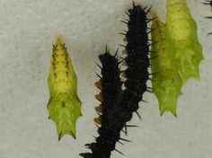 Peacock Butterfly, Inachis io (Aglais io). Larvae and chrysalis.