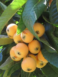 Loquat tree is Japanese Medlar. A loquat also known as Bibasse in some… Fruit Plants, Fruit Garden, Fruit Trees, Fruit And Veg, Fruits And Vegetables, Fresh Fruit, Loquat Tree, Strange Fruit, Beautiful Fruits