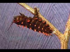Van eitje tot vlinder