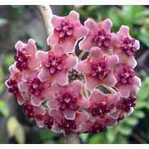 Flor De Cera - Hoya Diversifolia