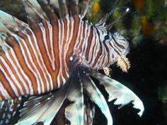 Beautiful but voracious lion fish - Utila, Bay Islands, Honduras.