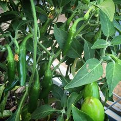 OTG FARM  #growfood #gardeneverydamnday  #growsomethinggreen #urbangarden #garden #organicgarden #organicveggies #veggies #farmer #farming #urbanfarmer #riverside #growsomething  #cannabis #indica #420 #greenthumb #losangeles  #otgart  #epicgarden #epicga