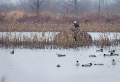 Adult Bald Eagle at the Squaw Creek NWR northwest Missouri)  Show Me Nature Photography