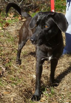 Trooper Labrador Retriever Mix • Young • Male • Large S.P.C.A. of Polk County Livingston, TX