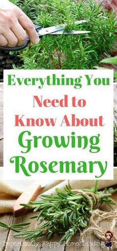 Everything You Need to Know About Growing Rosemary Alles, was Sie über Rosmarin in Ihrem Garten wiss Indoor Vegetable Gardening, Organic Gardening Tips, Hydroponic Gardening, Container Gardening, Garden Plants, Herb Plants, Gardening Zones, Veggie Gardens, Indoor Herbs