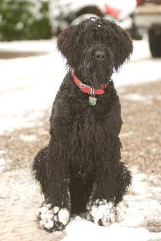 Black Russian Terrier Dog #Dogs #Puppy Terrier Dogs, Terriers, Black Russian Terrier, Standard Schnauzer, Big Dogs, Black Is Beautiful, Mans Best Friend, Dog Cat, Favorite Things