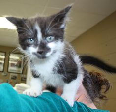 Morph is a little boy about 7 to 8 weeks old.  He is part Siamese, but he doesn't look as much so as his siblings.  His sister Mirage is available for adoption now, and his brother will be soon.  His coloring is an interesting mix of white and gray...