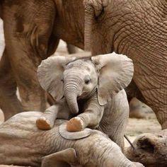 Pachidermi/Elefante ...: