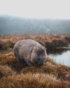 Keep an eye out on your wanderings and you will definitely see one of these cute little things. A wombat grazing at Cradle Mountain sent in by Phil Kitt https://instagram.com/p/BWJ2qz6AFWt/
