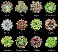 Assorted types of succulents Sempervivum Types Of Succulents, Growing Succulents, Cacti And Succulents, Planting Succulents, Cactus Plants, Garden Plants, House Plants, Planting Flowers, Sempervivum
