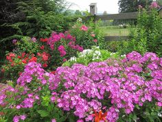 Volcano phlox in mixed cottage garden with Flower Carpet Scarlet and Volcano White in background. For more ideas on using easy care Flower Carpet and Volcano phlox in the landscape, go to www.YourEasyGarden.com