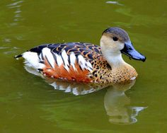 Plumed Whistling Duck (Dendrocygna eytoni), New Guinea & Australia Pretty Birds, Beautiful Birds, Animals Beautiful, Waterfowl Hunting, Duck Hunting, Sea Birds, Wild Birds, Duck Breeds, Animals And Pets