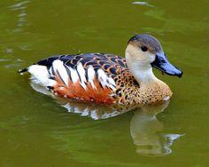Plumed Whistling Duck, New Guinea & Australia