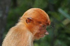 File:Proboscis monkey (Nasalis larvatus) juvenile Labuk Bay.jpg