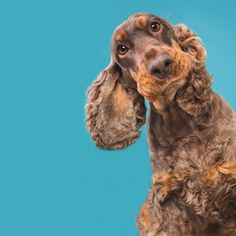 My name is Elke Vogelsang aka Wieselblitz, I'm a commercial and editorial photographer from Germany. After a very stressful time in life, I decided to change my life for the better and become a professional photographer. I'm absolutely crazy about dogs. Cocker Spaniel, Dog Photos, Dog Pictures, Cute Puppies, Cute Dogs, Funny Photography, Crazy Dog, Dog Portraits, Pet Store