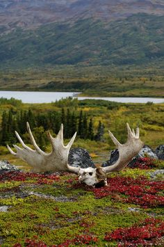 Katmai National Park and Preserve, Alaska - Moose antlers lie on the tundra