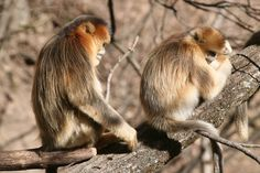 The actions of a snub-nosed monkey in China appear to be rare evidence of compassionate care in the wild, hinting that animals may comprehend mortality