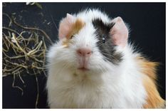 The Guinea Pig Daily: Yuwe