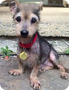 Chester Springs, PA - Yorkie, Yorkshire Terrier Mix. Meet Lady, a dog for adoption. http://www.adoptapet.com/pet/11525712-chester-springs-pennsylvania-yorkie-yorkshire-terrier-mix
