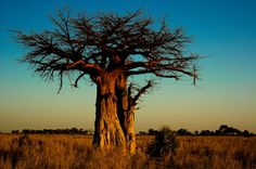 Baobab Tree...To some it is not so pretty but I think it is as awesomely beautiful.