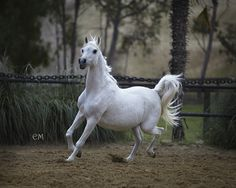 Om El Beneera(*Sharem El Sheikh × *Estopa) at 21 years.  Grey Mare , Born 1992  :: How could she not be beautiful given her sire and dam. Om El Arab International