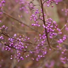 Pink berries, a rare treat! What there is: the basic form of Callicarpa bodinieri (beautyberry), Sorbus hupehensis 'Obtusa' (mountain ash), and Symphoricarpos x doorenbosii 'Amethyst'. Pink Love, Shrubs, Landscape Design, Berries, Bunt, Plants, Amethyst, Instagram, Mountain