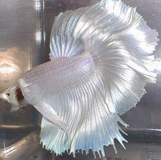 Rare Betta Fish | Petco/Petsmart Bettas