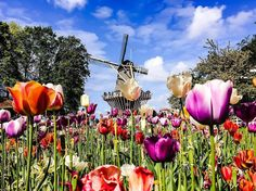 Colourful blooming spring flowers. A windmill. Sky clear. Looks like a perfect day to us. Thanks Julie Oliveira @workandtravelwithjulie for sharing your picture perfect #Keukenhof #2016 moment with us! You want a chance to be featured on our Instagram? One more day one last chance to post your #tbtkeukenhof photo! Please read terms & conditions before joining through link in bio. #tbt #visitkeukenhof #spring #springflowers #garden #flower #bloom #flowerlovers #flowerstagram #Amsterdam…