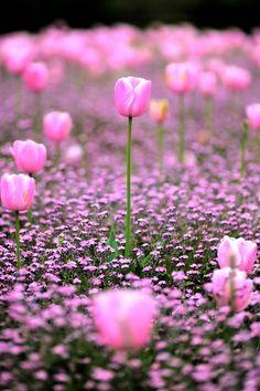 Lovely Garden of Pink Tulips