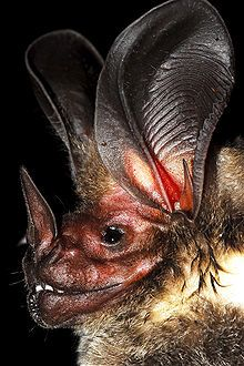 "White-throated round-eared Bat  Conservation status  Least Concern (IUCN 3.1)  Scientific classification  Kingdom:	Animalia  Phylum:	Chordata  Class:	Mammalia  Order:	Chiroptera  Family:	Phyllostomidae  Genus:	Lophostoma  Species:	L. silvicolum  Binomial name  Lophostoma silvicolum  D'Orbigny, 1836  ""The white-throated round-eared bat (Lophostoma silvicolum) is a South and Central American bat species found from Honduras to Bolivia, Paraguay and Brazil..."""