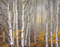 49 ideas birch tree photography nature fall for 2019 Tree Photography, Landscape Photography, Landscape Pictures, Landscape Paintings, White Birch Trees, Birch Forest, Aspen Trees, Arte Pop, Tree Art