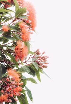 Australian wall art rubber tree flower, living room w - Art Garden Ideas Australian Native Garden, Australian Native Flowers, Australian Plants, Burlap Christmas Tree, Small Christmas Trees, Small Palm Trees, Australian Wildflowers, Pine Tree Tattoo, Native Australians