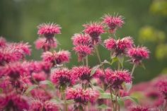 Top 10 Flowers to Attract Hummingbirds: Bee Balm