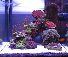 Sushi - 2010 Featured Nano Reefs - Featured Aquariums - Monthly Featured Nano Reef Aquarium Profiles - Nano-Reef.com Forums