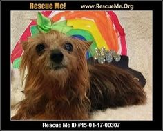Gracie (AL) (female) Yorkie Age: Senior Compatibility: Good with Most Dogs, Good with Adults (Not Kids) Personality: Average Energy, Average Temperament Health: Spayed, Vaccinations Current 04/03/2015: Gracie is a 10 year old, 5.6 lbs Yorkie female being fostered in Mobile AL Gracie is a very loving and sweet senior. If you are looking for a loyal little lap dog, she would be the one to pick! Her demeanor is excellent and she doesn't have an aggressive bone in her body. Though she did run…
